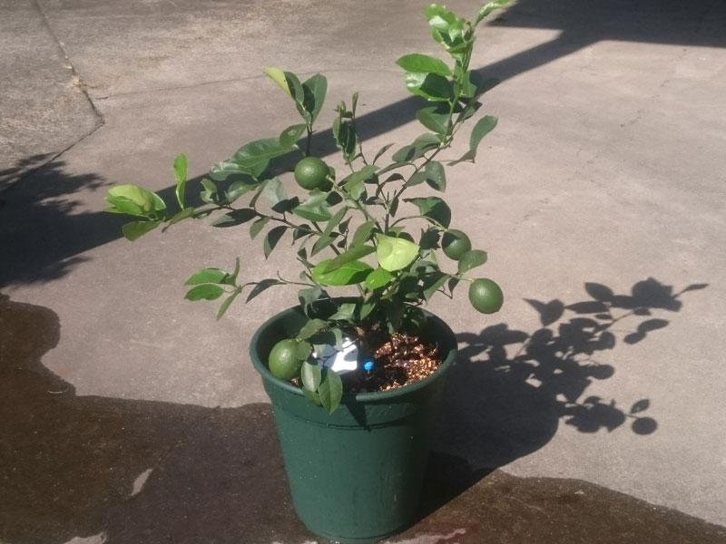 レモンの樹 3回目の植え替え
